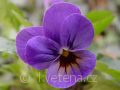 Viola ×cornuta 'Twix®F1 Blue with Eye' violka ×cornuta 'Twix®F1 Blue with Eye'